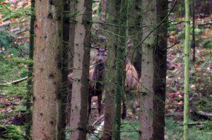 Rotwild im Herbstwald